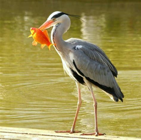 au bureau heron parc photos hé cendré au parc de bercy à ash heron