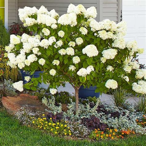 hydrangea size looking for a dependable plant with loads of eye appeal hydrangea s got the size and presence