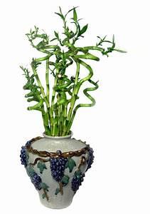 Bambus Pflegen Zimmer : zimmerbambus kaufen gl cksbambus einpflanzen ~ Lizthompson.info Haus und Dekorationen