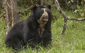 Image Gallery spectacledbear