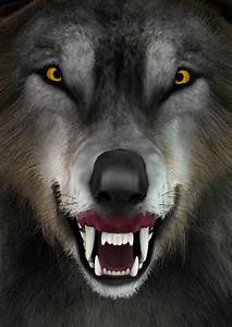 Best, Angry, Wolf, Stock, Photos, Pictures, U0026, Royalty