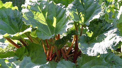 Rhabarber Pflanzen Und Ernten Praktische Tipps Zum Anbau