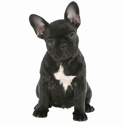 Bulldog French Transparent