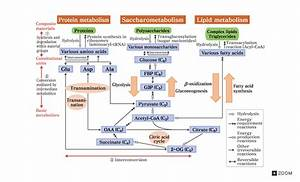 Schematic Diagram Of Basic Metabolic Pathways