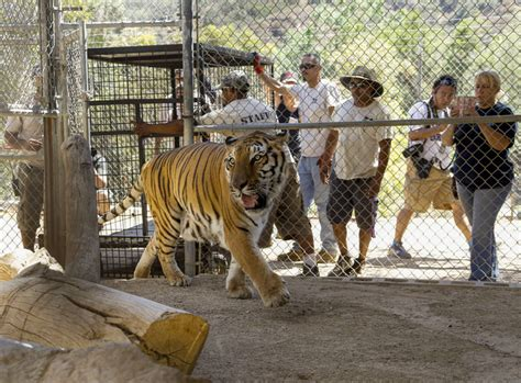 big cats returned to california sanctuary threatened by