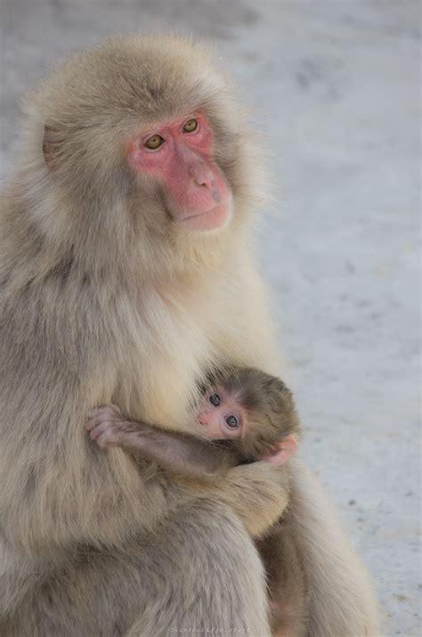 Scimmia Sedere Rosso by Sokuup 動物 哺乳類 猿 サル ニホンザル 親子 Permalink