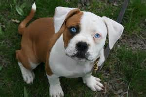 Blue American Bulldog Puppies