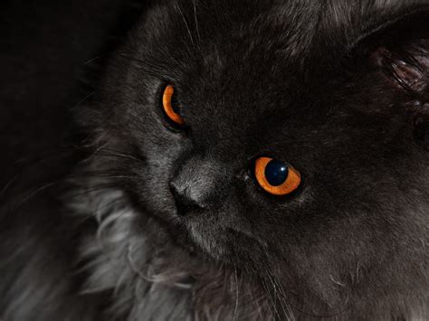 Orange Eye Wallpaper by Cats Hd Wallpaper Golden Pics