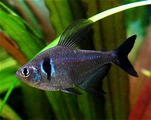 Black Phantom Tetra - the first addition to our tank x 6 ...