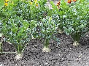 Celeri Branche Culture : cultiver les c leris ~ Melissatoandfro.com Idées de Décoration