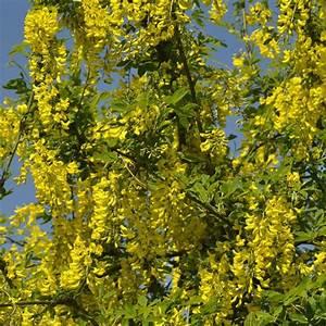 Plantes Et Jardin : cytise plantes et jardins ~ Melissatoandfro.com Idées de Décoration