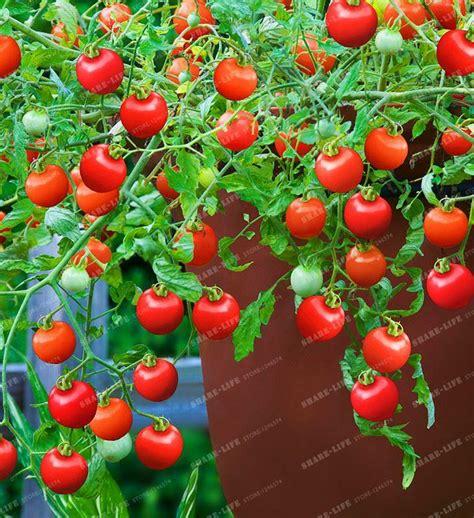 2018 Tomato Seeds Rare Mini Climbing Tomato Seeds, Cherry