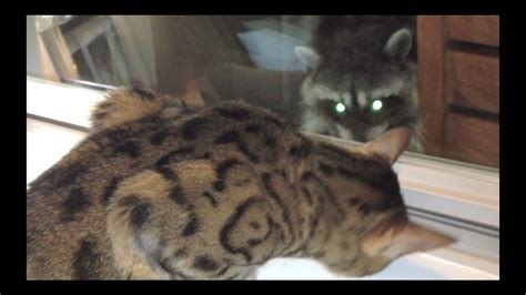 cats  raccoons youtube