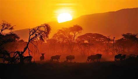 sunset wilderbeast savana tattoo project wildlife