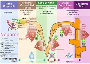 File Kidney Nephron Molar Transport Diagram Svg