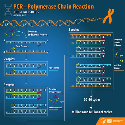 Pcr Template Amount by Polymerase Chain Reaction Pcr Fact Sheet National