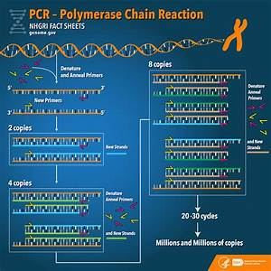 Polymerase Chain Reaction  Pcr  Fact Sheet