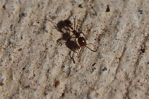 Pavement Ant Pictures to Pin on Pinterest - PinsDaddy