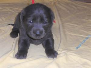 Black Labrador Puppies 4 Weeks | www.pixshark.com - Images ...