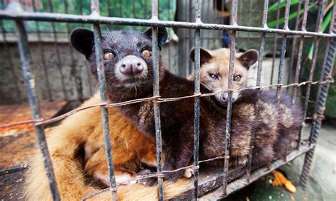 Kopi Luwak Civets Coffee civets were harmed in the of the world s most