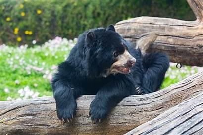 Andean Bears Zoo Park Reid