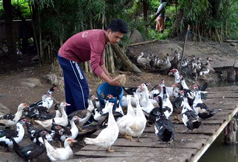 promising prospects  agriculture duck raising edge davao