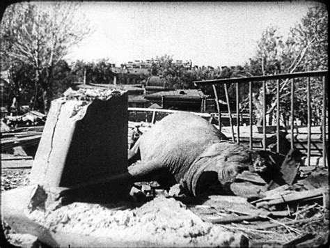 siege hippopotamus the hippo during the siege of leningrad 1943 1 024