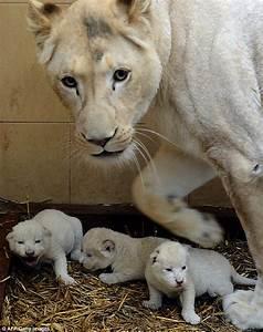 Three's the magic number: Newborn white lion triplets take ...