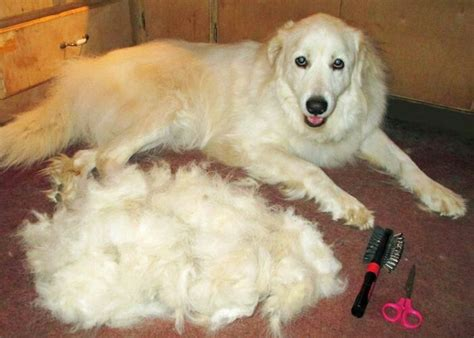 Great Pyrenees Shedding by Great Pyrenees And Hair Doggies