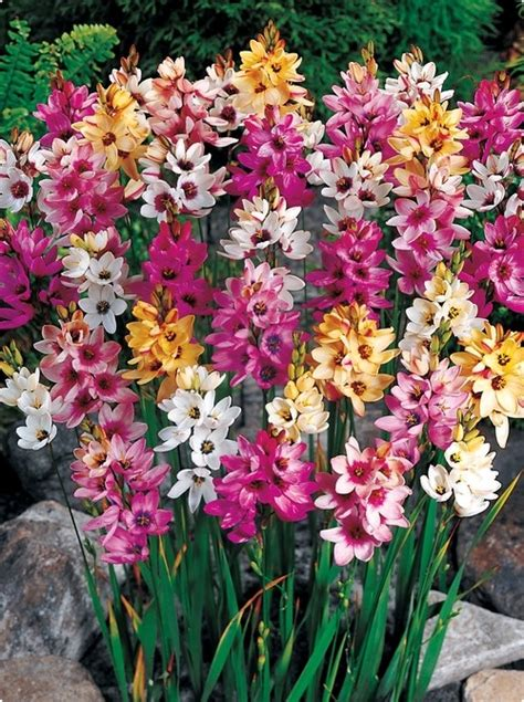 ixia plant info tips for growing corn