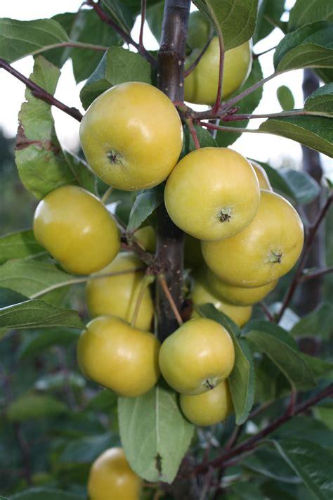 APPLE Thumbelina® Mini Apple Golden Crunch™