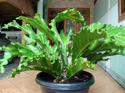 bungaanthurium