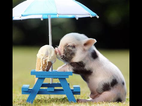 piglet  ice cream    cutest photograph