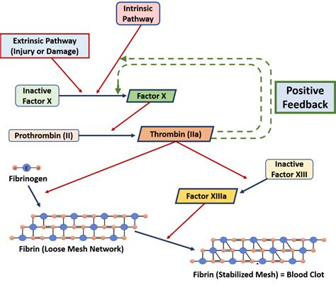 ch chapter  homeostasis  cellular function
