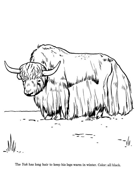 wild yak drawing  coloring page    animals