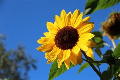 bunga matahari mekar foto gratis  pixabay