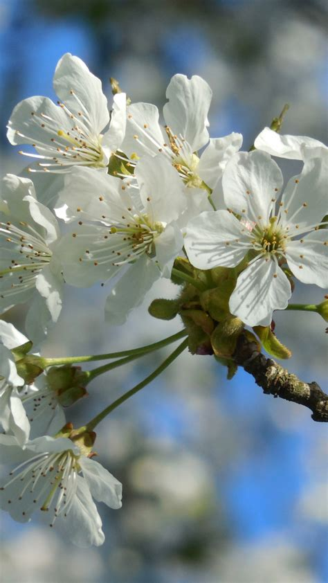 Download 720x1280 wallpaper white flowers cherry blossom