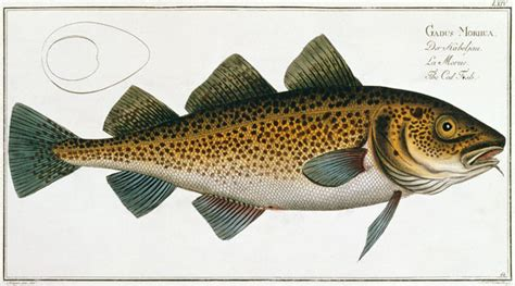 Cod (Gadus Morhua) plate LXIV from 'Icht - Andreas-Ludwig Kruger as art print or hand painted oil.