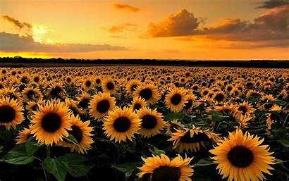 Sunflower Sunflowers Sunset Wallpapers Field Computer Aesthetic