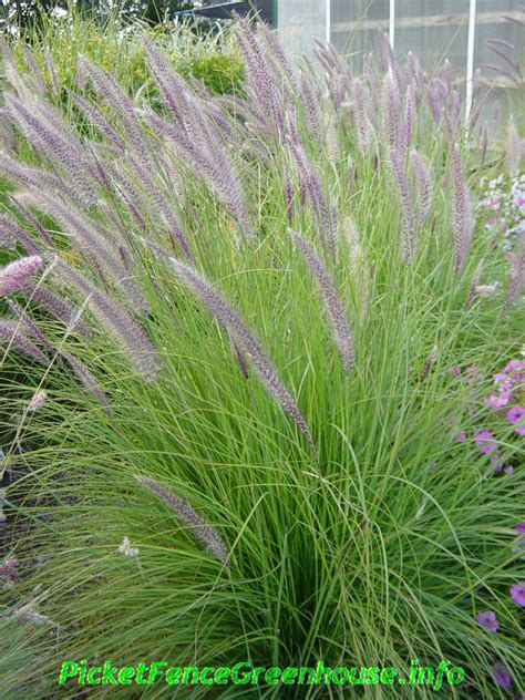 what ornamental grasses are perennials ornamental grasses