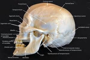 Skull Bones Labeled