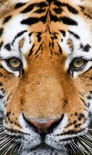 Tiger Face iPhone 5 Wallpaper (640x1136) | Tiger pictures ...