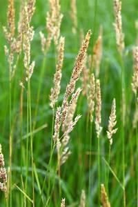 Phalaris arundinacea (Reed canarygrass) — L&H Seeds ...