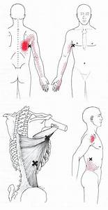 Latissimus Dorsi Muscle - The Swimmer's Muscle