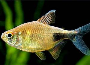 224 best images about FISH Tetras on Pinterest