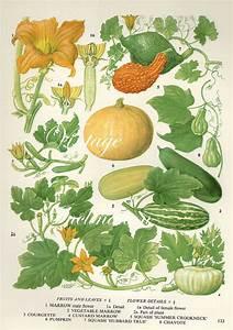 Vintage Botanical Print Antique Pumpkin  Marrow  Plant