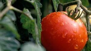 Tomaten Düngen Hausmittel : tomaten selbst anbauen tipps zum auss en d ngen und pikieren ~ Whattoseeinmadrid.com Haus und Dekorationen