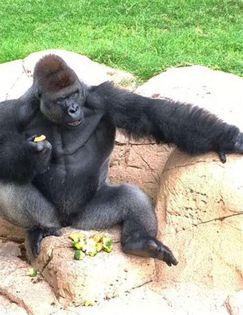 Harambe Cincinnati Zoo Gorilla Boy