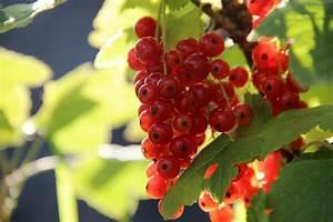 Rote Johannisbeeren Schneiden : freudengarten rote und wei e johannisbeeren schneiden ~ Lizthompson.info Haus und Dekorationen