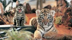 Tigers & House Cats Share 95.6% DNA - Purrfect Love